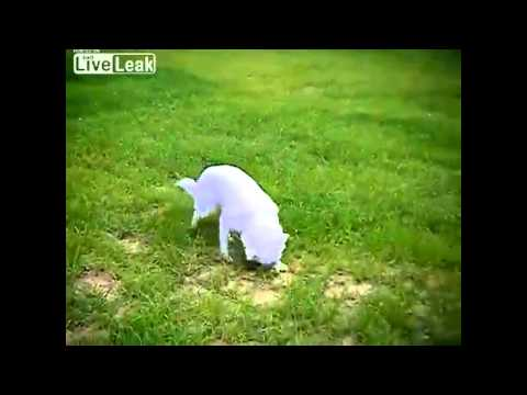 Funny Dog vs. Skunk- Hund gegen Stinktier.avi