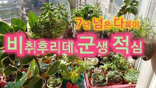 다육이🌳7년정도  된 비취후리데 군생 적심🍀적심된 올리비아 군생 얼굴이 너무 많이 나와서 셀수가 없음 (군생 적심하는 방법) Succulent plants 다육식물