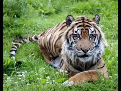 Sumatran Tigers Up Close