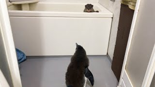 絶対1番にお風呂に入りたいカワウソと、ちゃんと順番待ちをするペンギンの赤ちゃん
