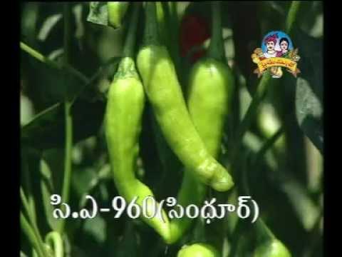 Sindhur C.A.-960 - Mirapa Rakam (Chillies Variety)