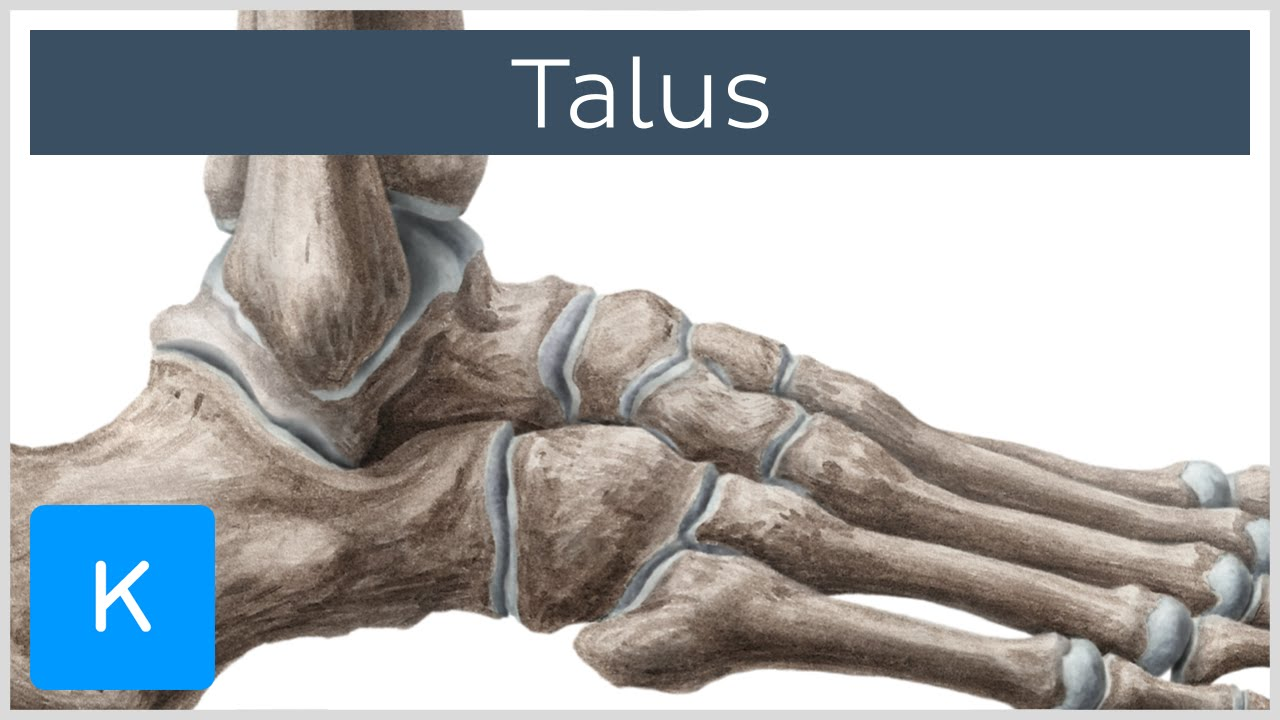 Talus Articulation Blood Supply And Innervation Human Anatomy