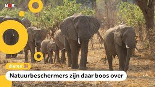Regering verkoopt 500 olifanten om op te jagen