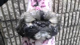 Rescue Shih Tzu's First Nyc Snowstorm 10 Weeks Old