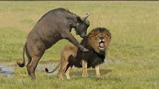 Incredible Lion Vs Buffalo | Buffalo Kill Lion To Save His Life