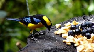 Tanager  フウキンチョウ(風琴鳥)