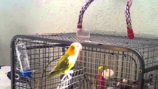 Love Bird Singing - Agapornis cantando