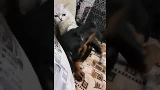 Ягдтерьер 6 месяцев и домашняя кошка.