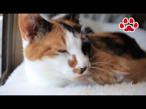 三毛猫に一緒に寝る事が許された日。子猫まや【瀬戸のまや日記】 Kitten Maya was allowed to sleep with calico cat