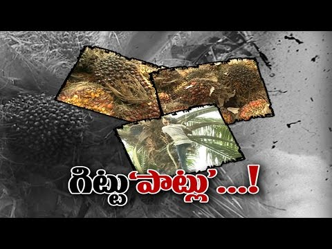 AP Oil Palm Farmers Suffering with Price Fluctuation    Sakshi Special - Watch Exclusive
