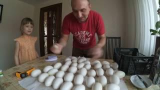 Подготовка гусиных яиц к инкубации//Линдовские гуси