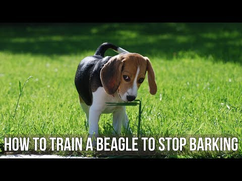how-to-train-a-beagle-to-stop-barking