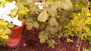 Уход за садовыми розами в конце лета (ч.2)(Садовое цветоводство: уход за садовыми розами в августе. Как подкармливать цветы, чем удобрять почву, как..., 2012-08-29T09:15:23.000Z)