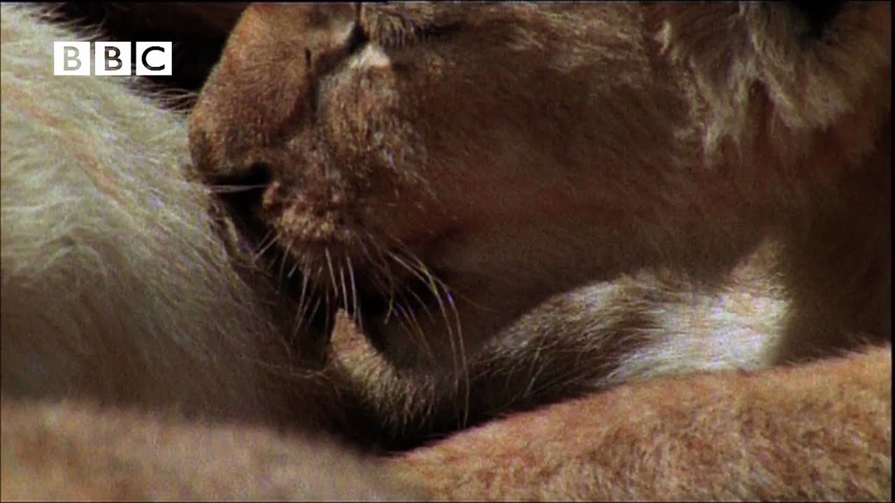 funny talking lion cubs breast feeding tips helen mirren kate