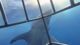 inside the cage during a great white shark incident not an attack in guadalupe