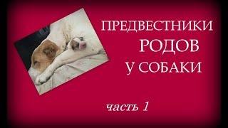 Предвестники родов у собаки. Наглядно. Часть 1.
