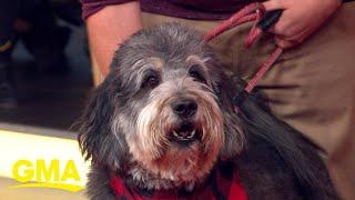 Meet Finnigan, 'GMA's' Pet of the Week l GMA