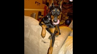 The One And Only Doberman Pinscher