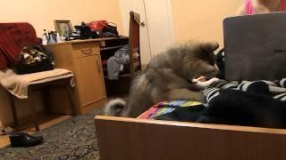 аляскинский маламут сайга смотрит видео про собак