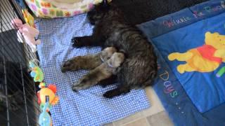 Cairn Terrier Pups:  Tanken Met Toeschouwers.....