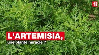 L'artemisia, une plante miracle ?