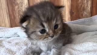 猫 かわいい ペルシャ猫の赤ちゃん