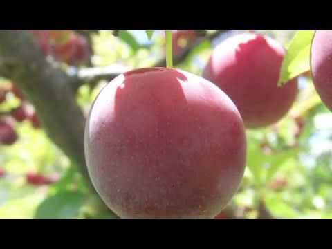How to Grow Native Plum Trees
