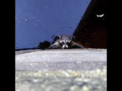 The Woody Show - Raccoon News: Raccoon Water Rescue