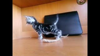 Шотландские котята .