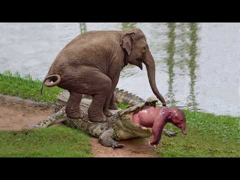 Unbelievable Mother Elephant Save Her Baby From Crocodile Hunting – Power Of Mother Animals