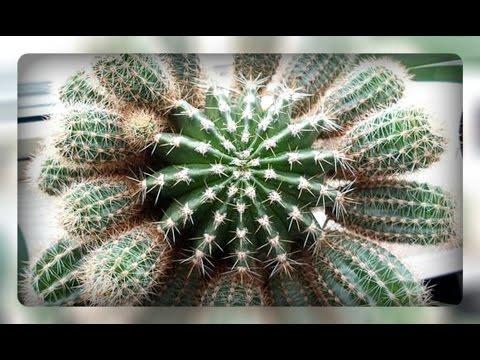 Как посадить детку кактуса