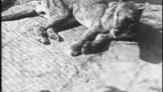 Wilk workowaty (Thylacine)