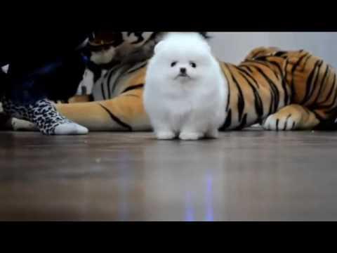 Regalo Cuccioli Volpino Di Pomerania Toy Per Accoppiamento Youtube
