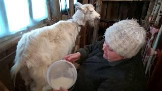Как правильно доить козу ! Коза Маша, вечерняя дойка ! (Инструкция)
