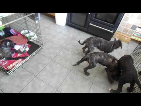 Deerhound Lurcher Puppies 9 Weeks
