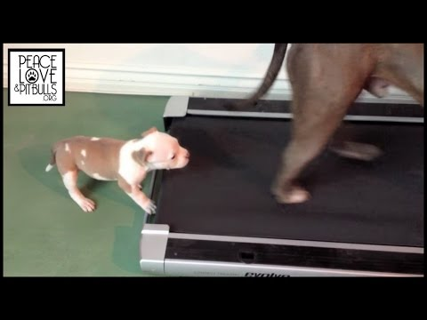 BANDIT the Pit Bull Puppy VS the Treadmill