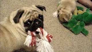 English Bulldog Vs. Pug In Tug O' War