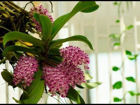 Chia sẻ: Cách trồng và chăm sóc phong lan Nghinh Xuân | Đai Châu | Ngọc Điểm