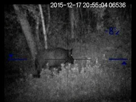 видео: Стрелял в ухо. Калибр 223: Кабан под 200 кг.
