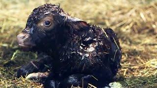 Naissance de bébé veau en direct / Mise bas vache - ZAPPING SAUVAGE