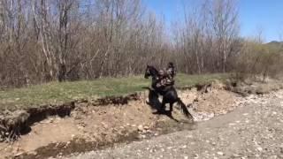 Карачаевская порода лошадей )