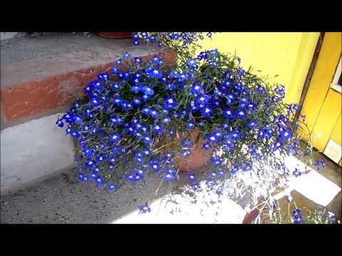 ЛОБЕЛИЯ Как продлить пышное цветение