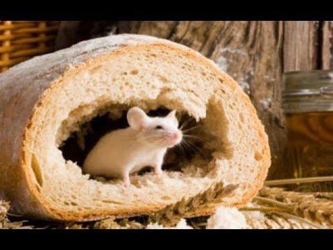 Ядовитый хлеб с мышиным хвостом