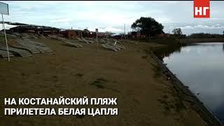 Белая цапля на костанайском пляже