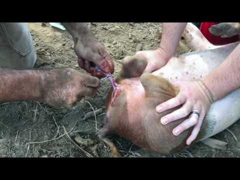 Pig Castration  A8E54244 3A57 478A ABCC E4C08374EE09