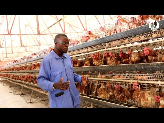Tips for Battery Cage Farming