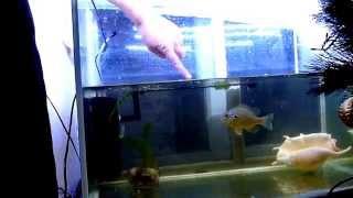 Солнечный окунь с Днепра живет в аквариуме часть 1