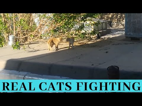 Real cats fighting
