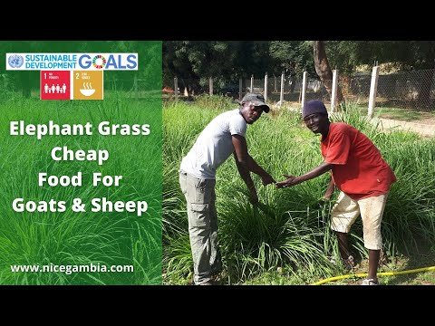 Elephant Grass : Cheap Food For Goats & Sheep - Gambia   27 June 2021