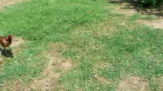Бойцовая птица хушета